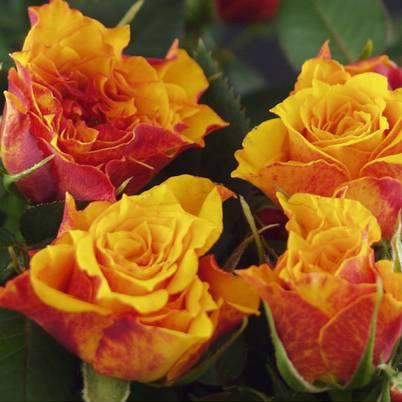 Roses Forever® Bikini™