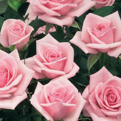 Roses Forever® New York™