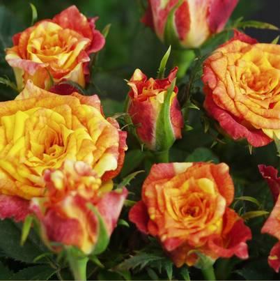 Roses Forever® Bermuda™