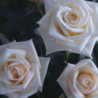 Roses Forever® Pisa™