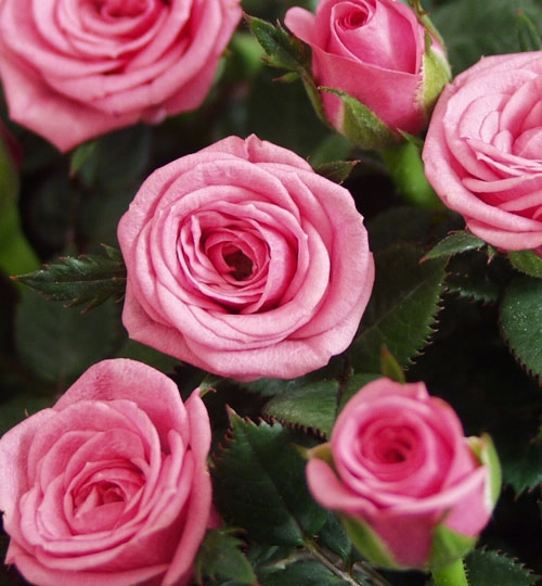 Roses Forever® Anacona™