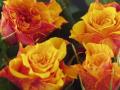 Roses Forever® Mini el Paso™