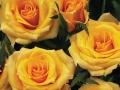 Roses Forever® Ibiza™