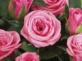 Roses Forever® Ancona™