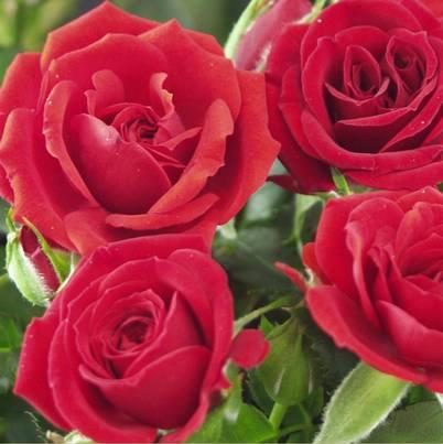 Roses Forever® Rimini™