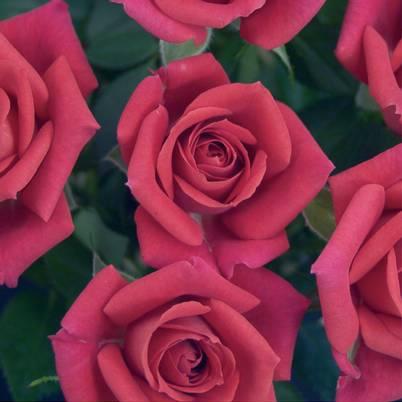 Roses Forever® Paris™