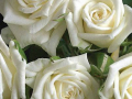 Roses Forever® Canazei™