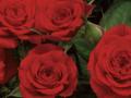Roses Forever® Bari ny night™