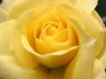 Roses Forever® Sachi™