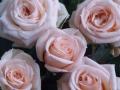 Roses Forever® Riga™