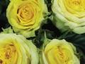 Roses Forever® Kreta™