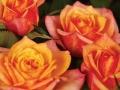 Roses Forever® Santa Lucia™