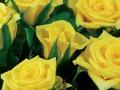 Roses Forever® Antibes™