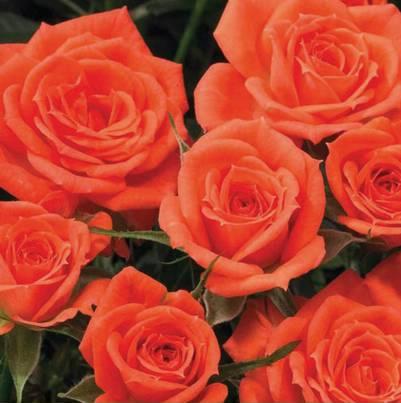 Roses Forever® Alaska™