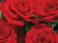 Roses Forever® Bari™