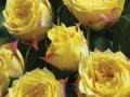 Roses Forever® Isola Bella™