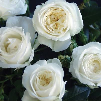 Roses Forever® Greenland™