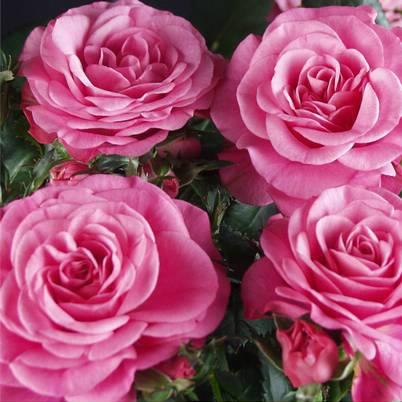 Roses Forever® Santa Barbara™