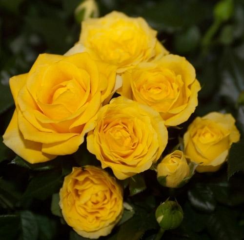 Roses Forever® Sunny beach™