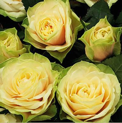Roses Forever® Corfu™