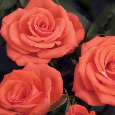 Roses Forever® Alsace™