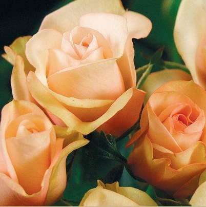 Roses Forever® Narbonne™