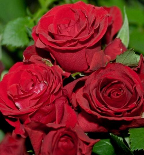Roses Forever® Molde™