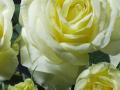 Roses Forever® Bergamo™