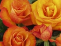 Roses Forever® Bandol™