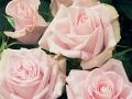 Roses Forever® Monte Cristella™