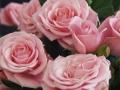 Roses Forever® Monte cristo™
