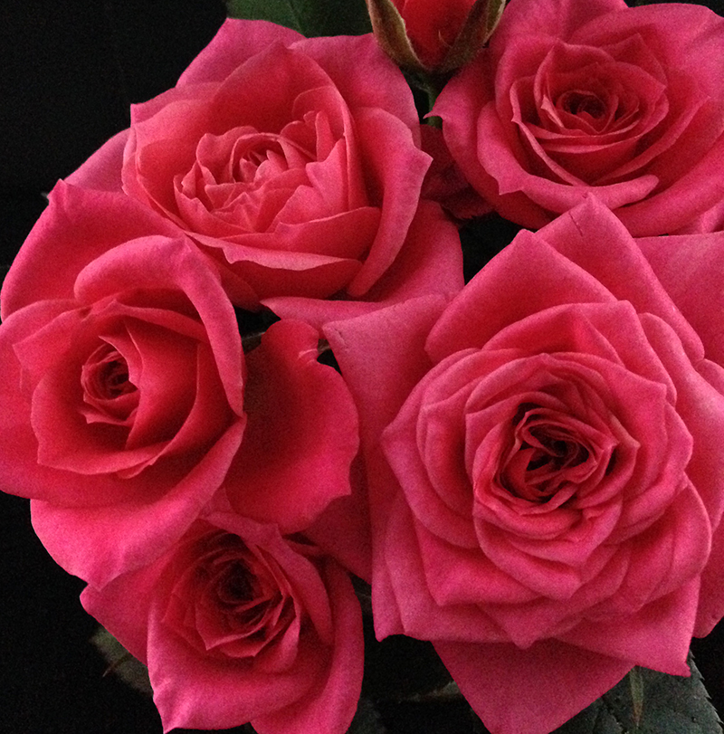 Roses Forever® Maggiore™