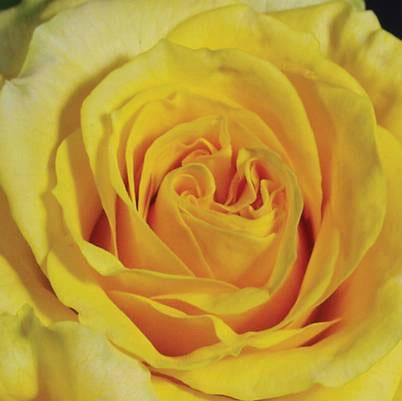 Roses Forever® Nevada™