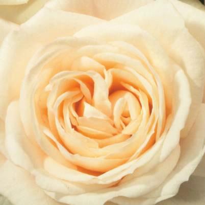 Roses Forever® Monte Rosa™