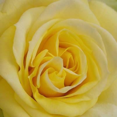 Roses Forever® Heidelberg™