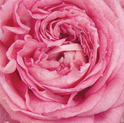 Roses Forever® Pink monte rosa™