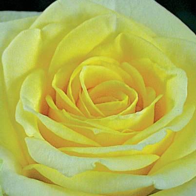 Roses Forever® Limone™