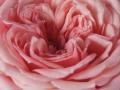 Roses Forever® Copenhagen™