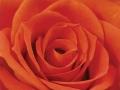 Roses Forever® Dark san remo™