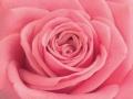 Roses Forever® Malaga™