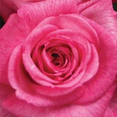 Roses Forever® Monte cassino™