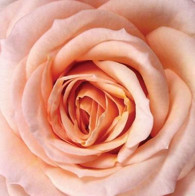 Roses Forever® Andora™