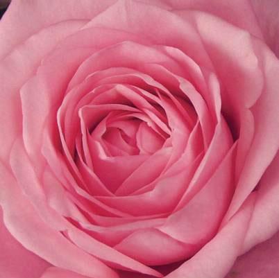 Roses Forever® Marina™