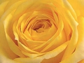 Roses Forever® Sevilla™