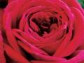 Roses Forever® Red monte rosa™