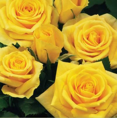 Roses Forever® Amalfi™