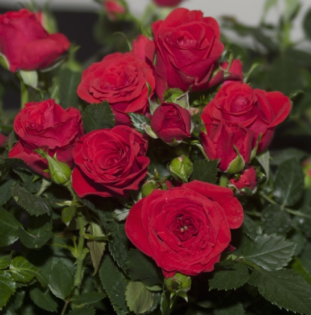 Roses Forever® Moscow™