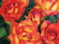 Roses Forever® Val di sole™