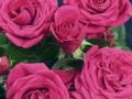 Roses Forever® Sofia™