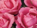 Roses Forever® Marseille™